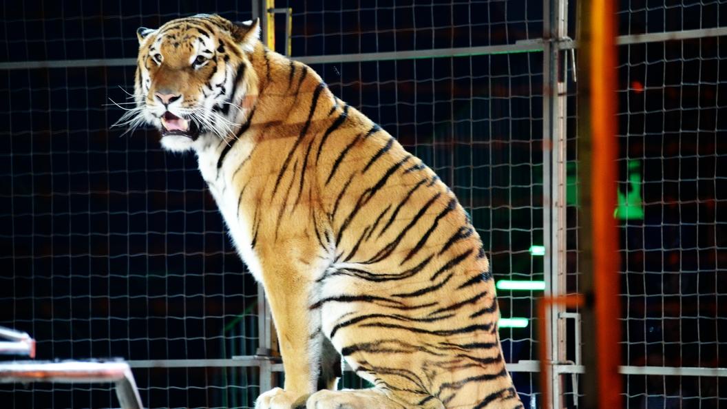 Тигр Умар изМосковского зоопарка отправился вСША кневесте