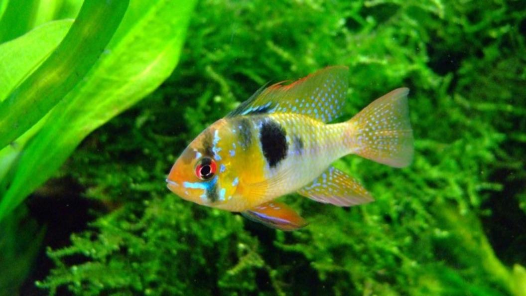 Ученые узнали, как общаются рыбы-цихлиды