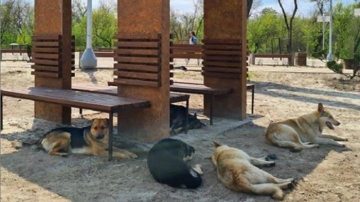 В Ростове благоустроенный за 45 млн рублей пляж оккупировали бездомные собаки