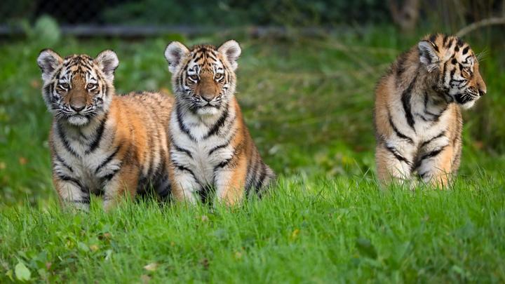 Из Сибири с любовью: В крымском зоопарке появилась полосатая команда