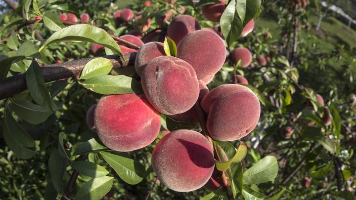 Последнее китайское предупреждение: Не добившись от КНР инспекции фруктов и ягод, Россия закрыла им дорогу