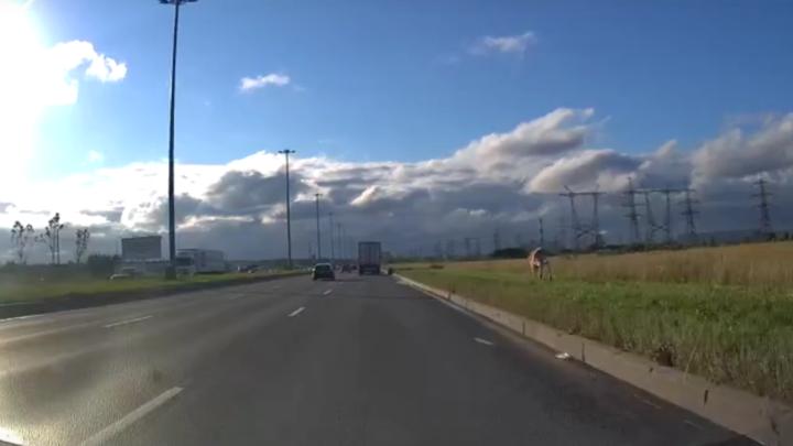 Гонки с бурёнкой: в Петербурге сбежавшая корова дала фору автомобилистам на Софийской улице