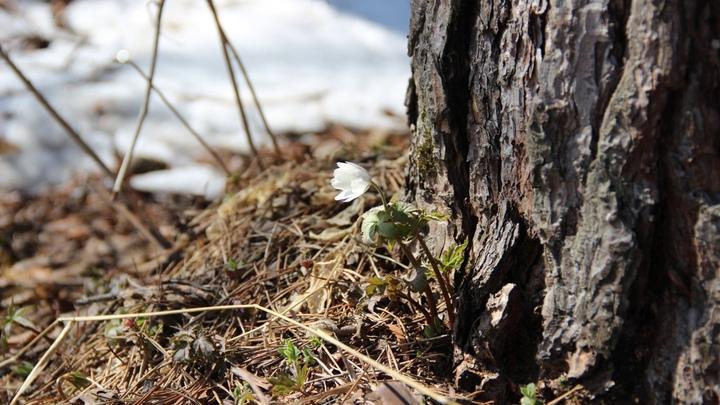 В Челябинской области раньше срока зацвели подснежники и появились комары