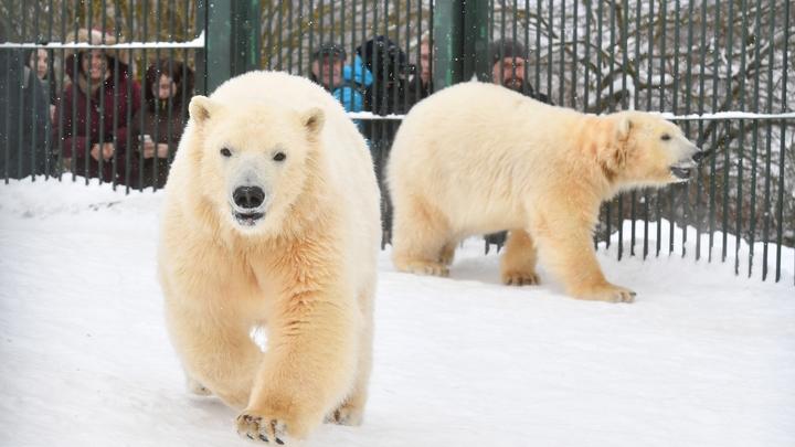 Сгубила детская игрушка: Белый медведь Умка трагически погиб в зоопарке на Урале