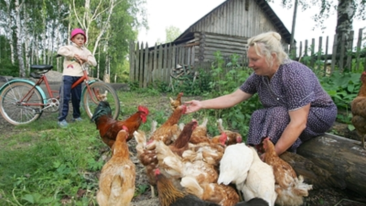 Жителям Новосибирской области запретили держать куриц на дачах