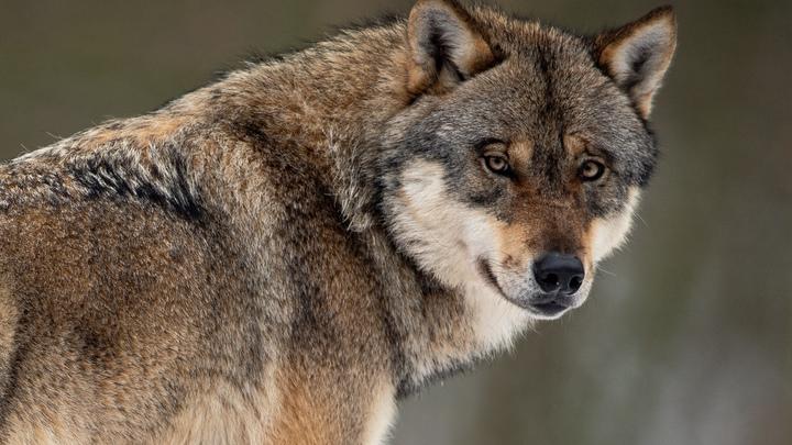 Тайге угрожает экологическая катастрофа из-за волков