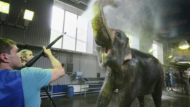 Опасный цирк: В Казани слон подрался с рабочим