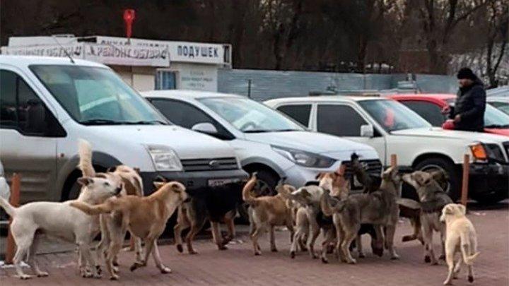 В Ростовской области на отлов бездомных собак выделили более 100 млн рублей: Проблему это не решит