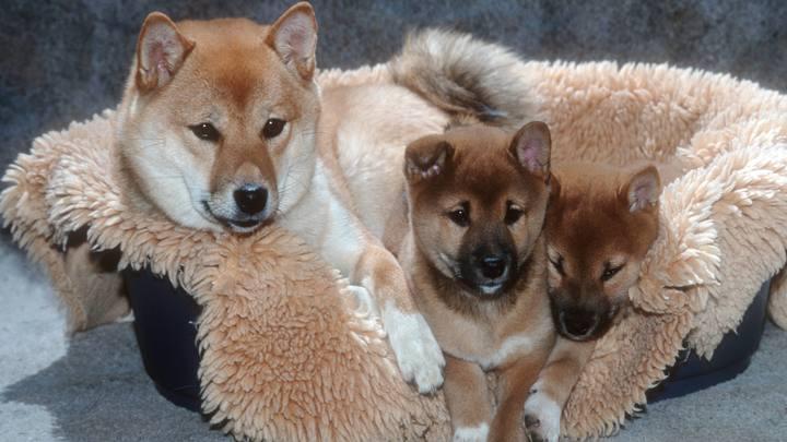 МВД запрещённым списком собак подогрело интерес к маремме, рафейру ду алентежу и еще к десятку самых дорогих пород в мире