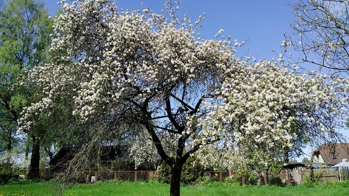 Жителям Подмосковья разрешили высаживать возле домов клен и яблоню