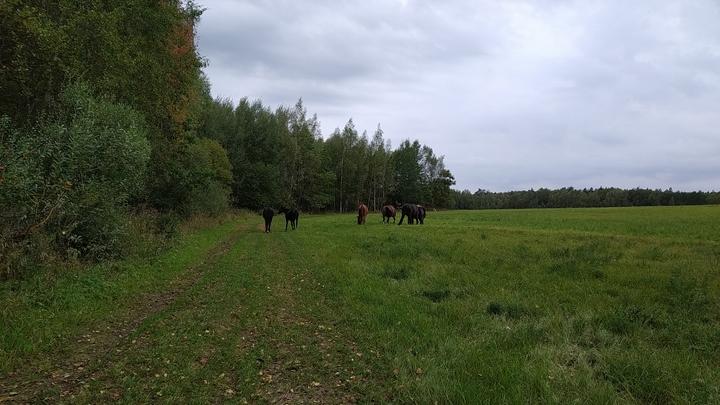 В Подольске корова ободрала рогом трехлетнюю девочку