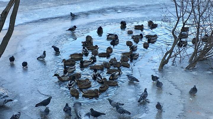 Во Владимире Соловьиный пруд замерзает. Вместе с утками