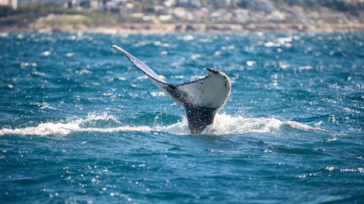 Китовая отрыжка принесла бедному тайскому рыбаку около $320 тысяч