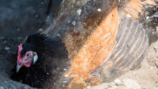В Пензенской области локализован очаг птичьего гриппа