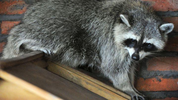 Умеет найти подход: В Ростове енот получил должность психолога в ветеринарной клинике - видео