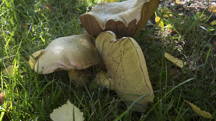 Какие грибы можно найти в Новосибирской области даже в октябре