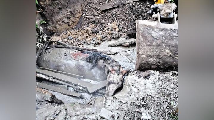 Лошадь провалилась в выгребную яму в Кузбассе и едва не погибла