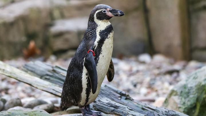 Учёные доказали сходство речи пингвинов и людей: Оба языка работают по одним лингвистическим законам
