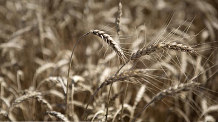 В Курганской области засуха уничтожила 30% урожая