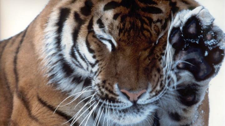 Один погиб, второй - при смерти: Заточенных в клетках тигров бросили умирать на границе
