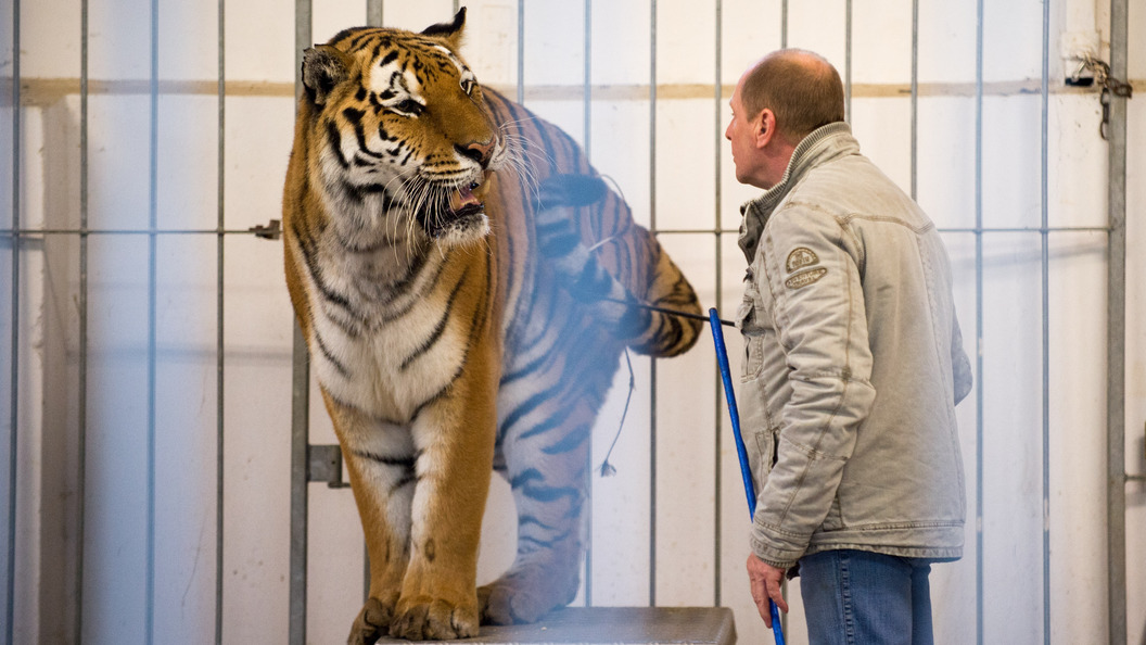 В КНР цирковой тигр напал напенсионера