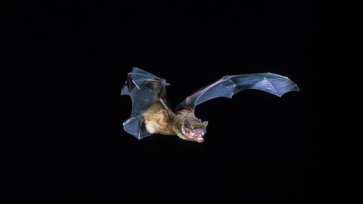 Мыши-вампиры по-людски соблюдают социальную дистанцию. Учёные провели показательный эксперимент