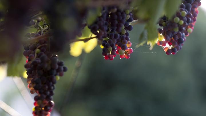 На Кубани увеличат темпы закладки виноградников благодаря госфинансированию