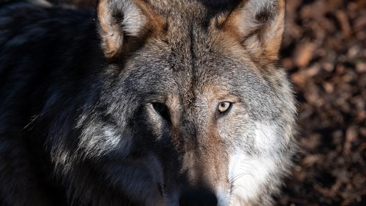 Тамбовский волк растерял товарищей: В регионе нашли всего двух предков собак