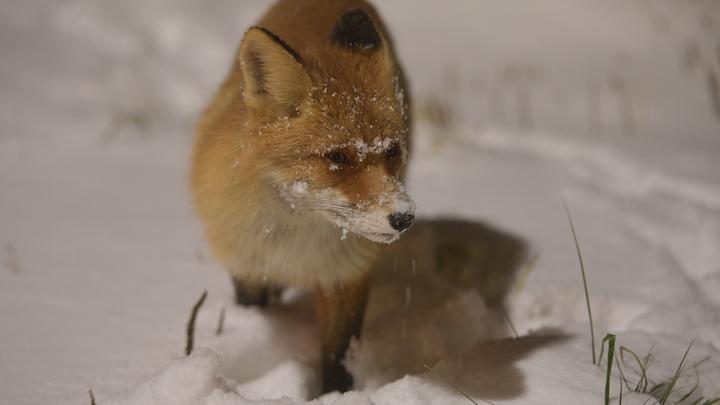 Зимой в Санкт-Петербург пожалуют редкие животные