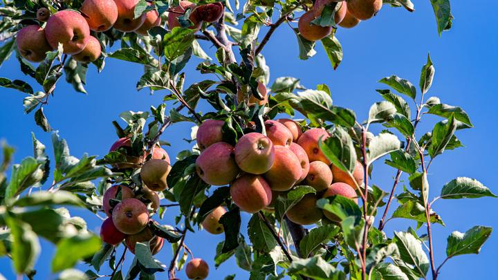 Эксперты рассказали, почему даже яблоки из собственного сада надо обдавать кипятком