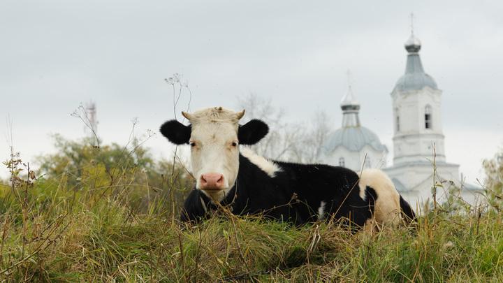 С начала года подмосковные коровы дали 370 тысяч тонн молока