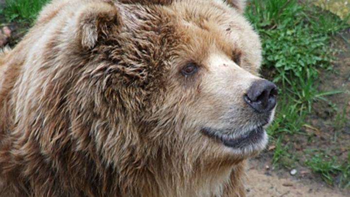 Медведь-убийца расправился с подростком в Красноярском крае. Эксперт винит людей