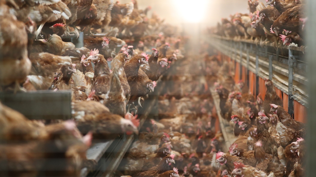 Россельхознадзор снял ограничения наввоз мяса птицы изсоедененных штатов иКанады