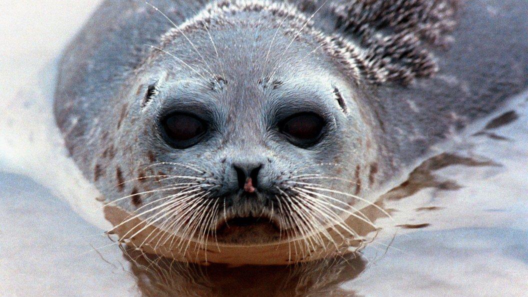 В Санкт-Петербурге спасенного тюленя выпустили в Финский залив
