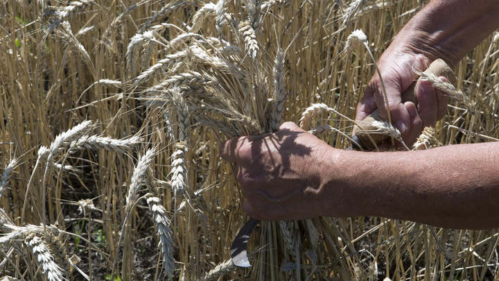 В этом году Кубань первой в стране завершила уборку зерновых колосовых и зернобобовых культур