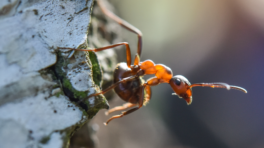 ВЯпонии огненный муравей укусил человека впервые