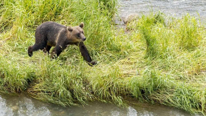 Растерзали девчушку: Волки и медведи терроризируют жителей Республики Коми - СМИ