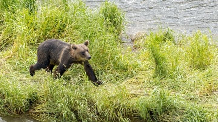 В Кузбассе застрелят вышедшего к людям медведя