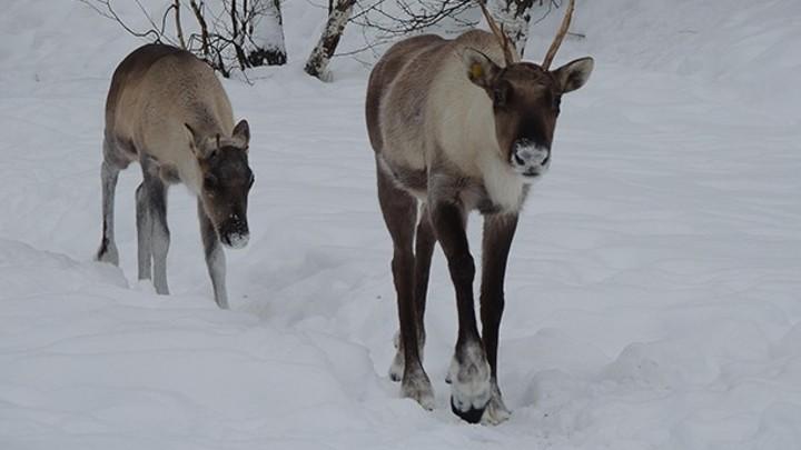 На гербе и в лесах: зачем Нижнему Новгороду восстанавливать популяцию северного оленя?
