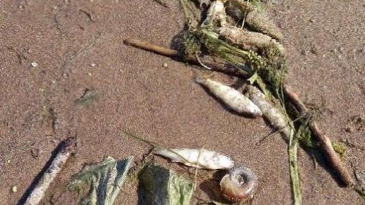 Ветром к берегу прибило: самарские чиновники не смогли пояснить причину появления дохлой рыбы