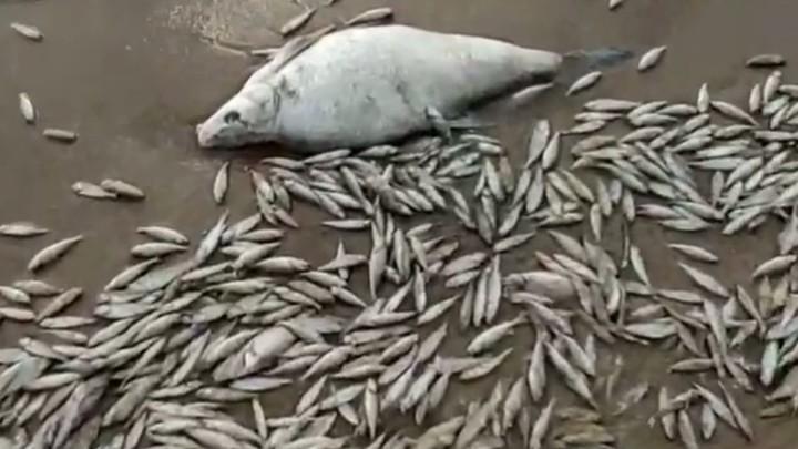 2 километра дохлых тушек: В Тольятти на пляже замечено большое количество мертвой рыбы