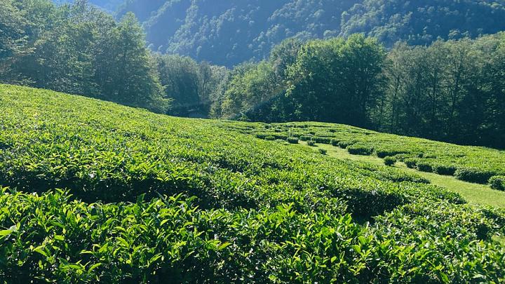 Историческая и перспективная: В Сочи создают карты чайных плантаций