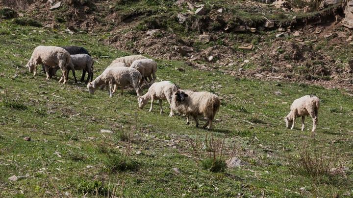 Сибирские учёные обнаружили самых древних домашних овец