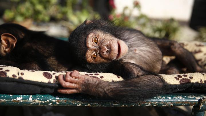 Ученые: Шимпанзе и бонобо говорят между собой на иностранном языке
