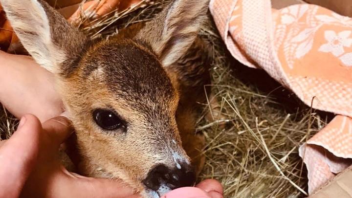 В Нижегородской области спасли от смерти маленькую косулю