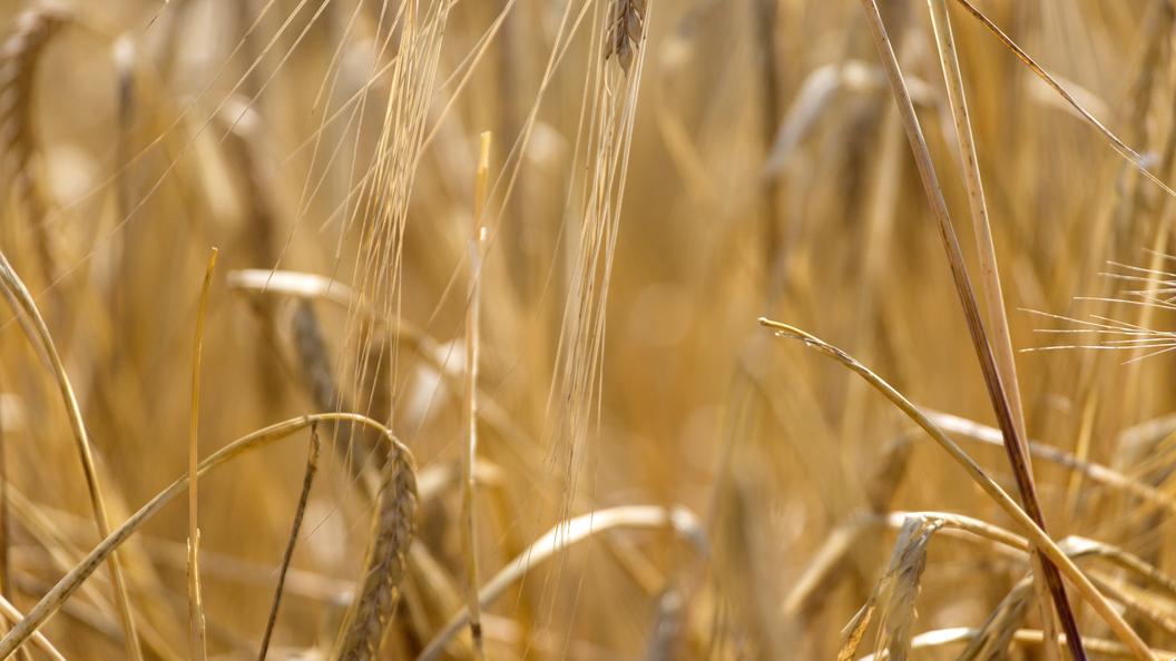 Эксперты прогнозируют снижениеинфляции из-за урожая зерна