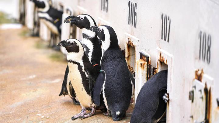Ни дня без пузыря: Суровые будни русских пингвинов удивили мир - видео