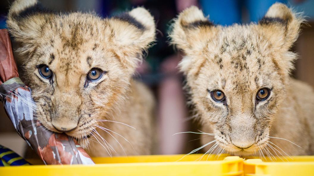 Взоопарке Швеции поставили напоток убийства львят