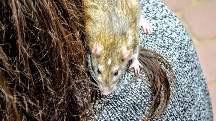 Это перебор: Жириновский оторопел от поцелуя с крысой