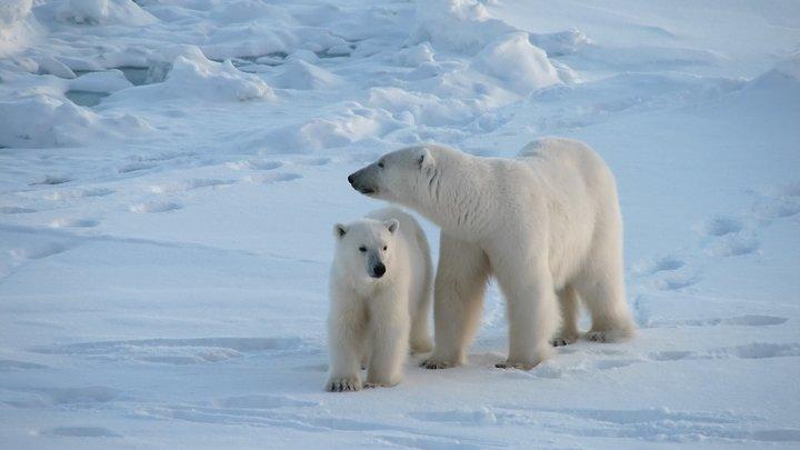 В осаде от голодных зверей: В Чукотской области село окружили 56 белых медведей